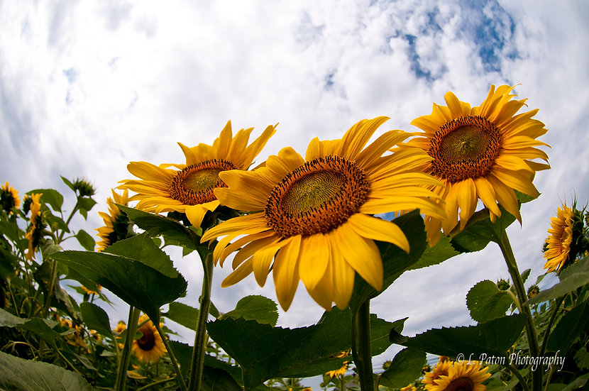 Sunflower Trio 4