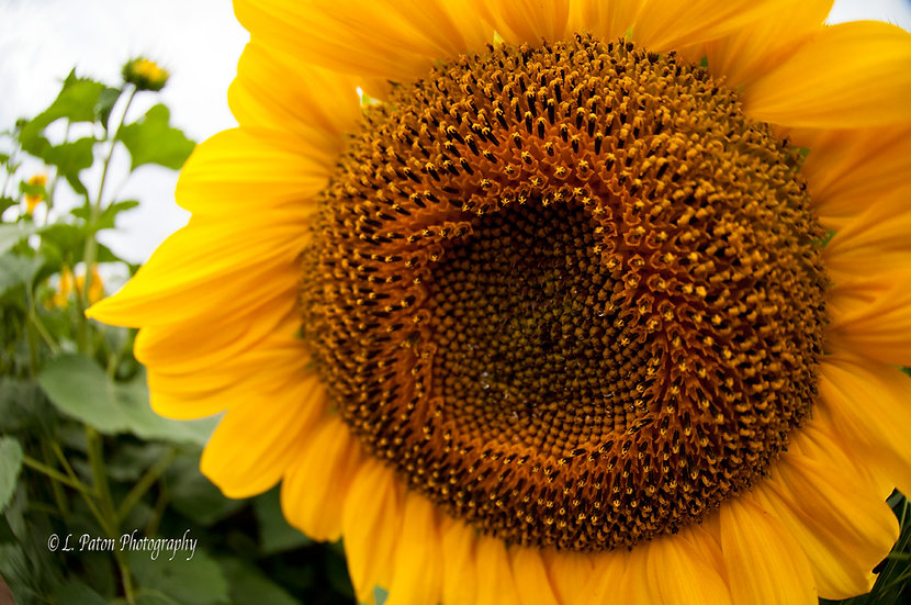 Sunflower closeup 1