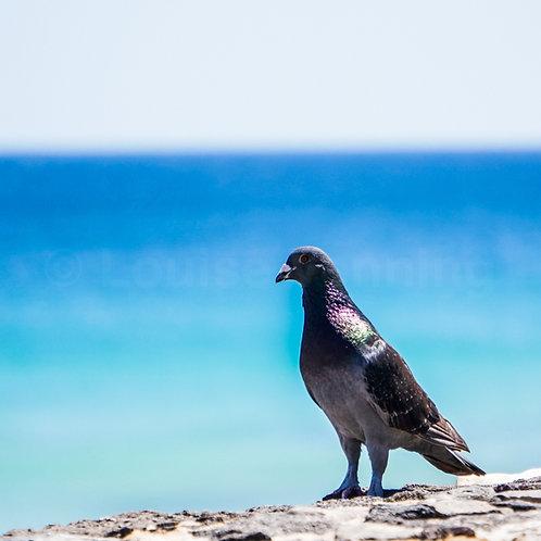 Laurel Pigeon