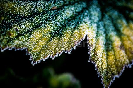 Anemone Crystals