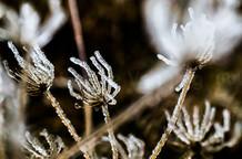 Icy Seed Head