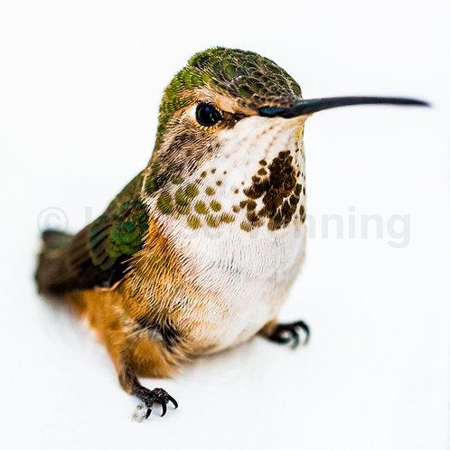 Hummingbird (Clive)