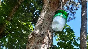 Traitement des pins contre les chenilles processionnaires.