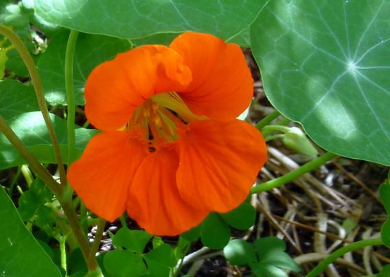capucine fleur.JPG