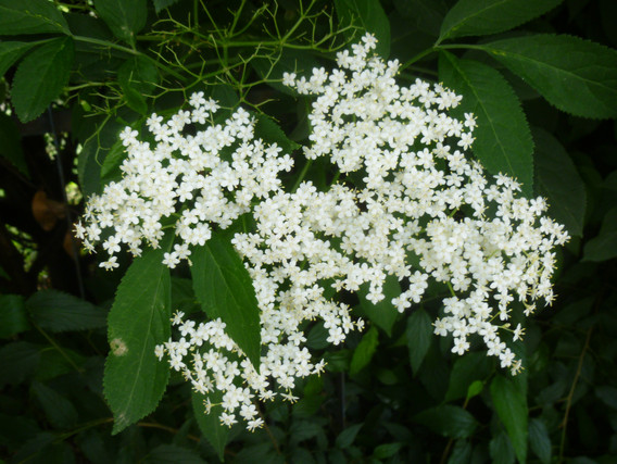 fleursureau.JPG