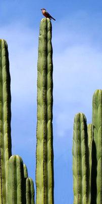 imagesatTOP_cactus.jpg