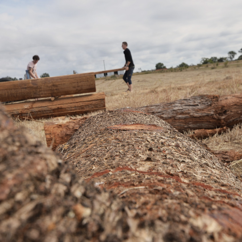 Lifting Bunya Pine