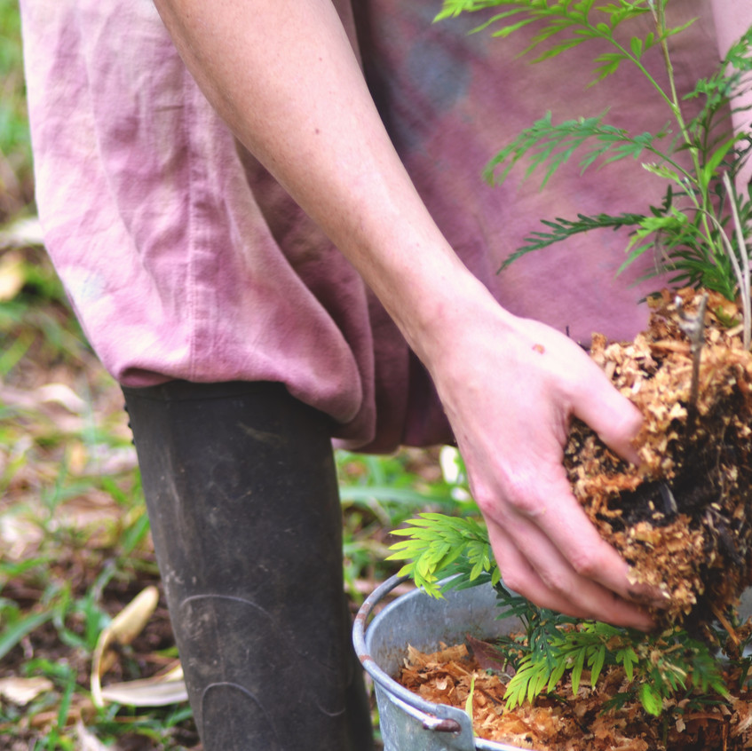 Planting Silky Oak saplings