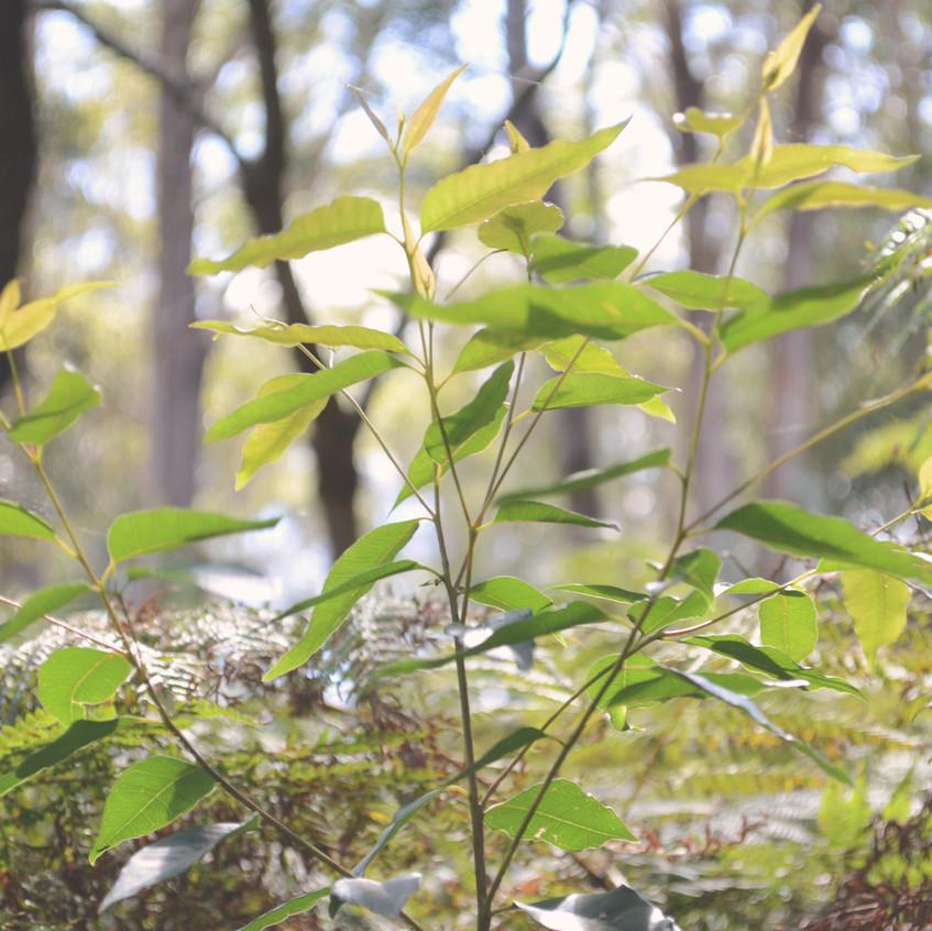 A planted tallow wood sapling