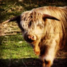 Scottish Highland Steer