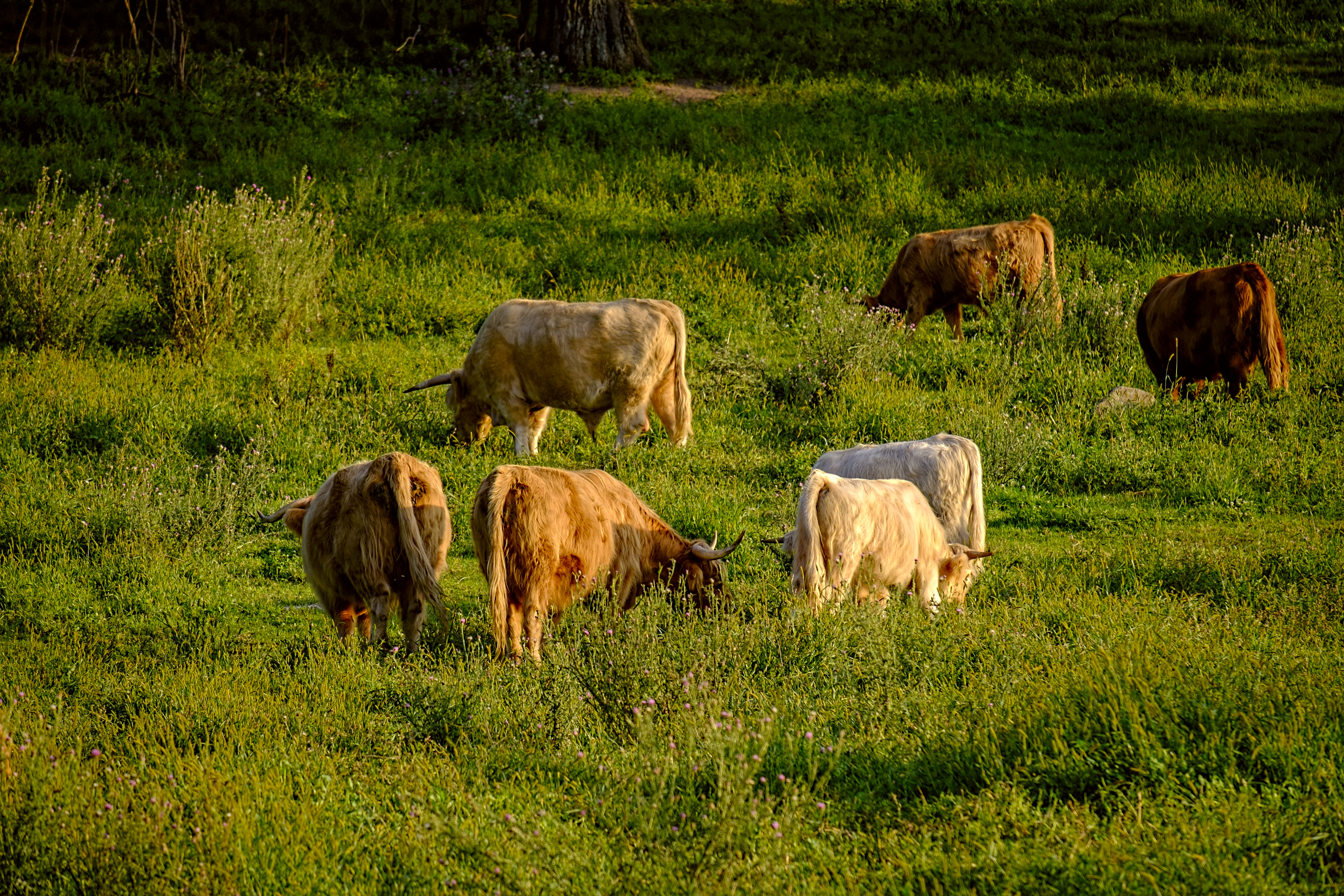 Cattle in the distance
