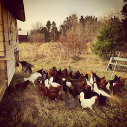 Chickens crowding the yard