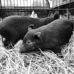 New pigs
