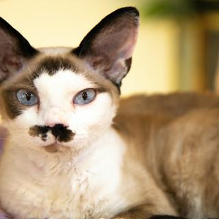 brown-cat-blue-eyes-4486178.jpg