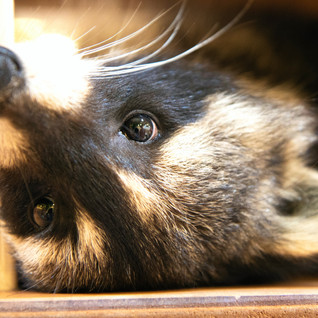 raccoon-upside-down-cuteness-4486184.jpg