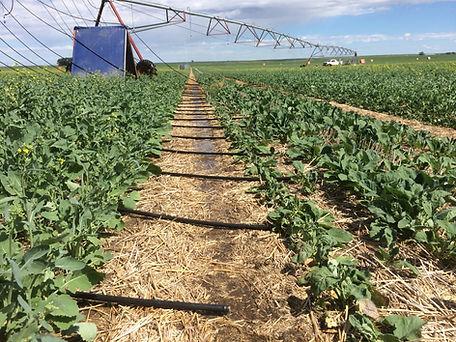 Precision Mobile Drip Irrigation 2.JPG