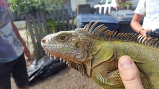 Hybrid iguana