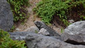 New species of Iguana on Saba!