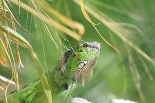 Common Green iguana (Iguana iguana)