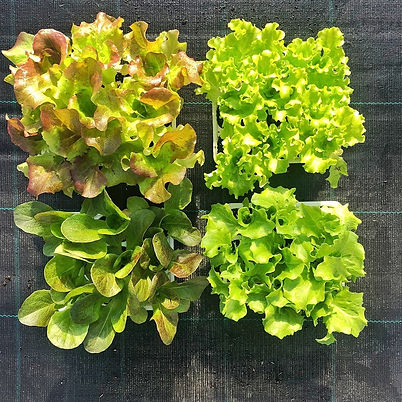 Verdure CalliariFiori-4.jpeg