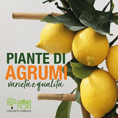 piante-di-agrumi-calliarifiori-min.png