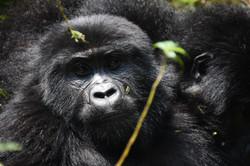 Mountain Gorilla Tracking ug