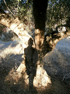 my shadow and olive tree