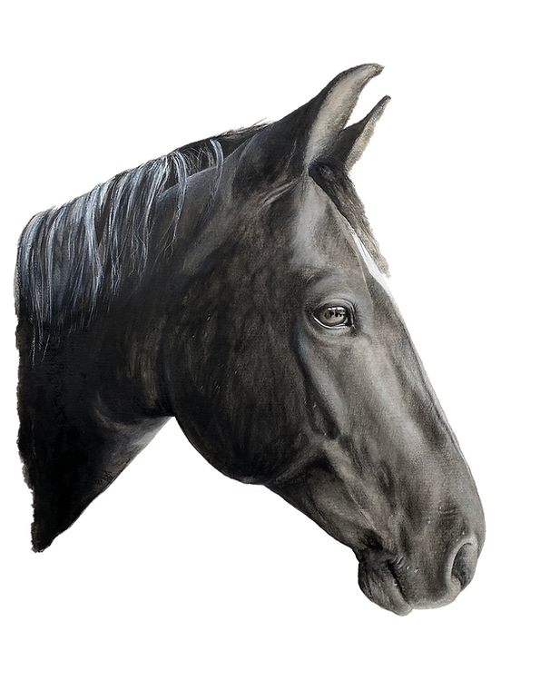 Pferdeportraitzeichnung von Tatjana von Elverfeldt TVE DESIGN