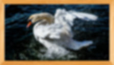 Exeter swan in Wooden frame 2017  8856x5