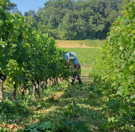 working in the vines