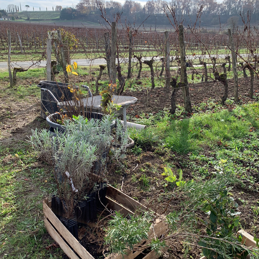 Planting hedgerow for biodiversity in the vineyard at Chateau George 7