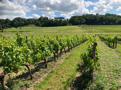 Vines in May at Chateau George 7