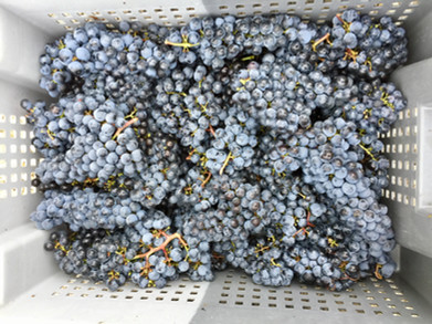 Hand picked grapes