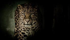 leopard-2896635_960_720.jpg