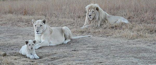 white-lion-family-4202566__340.jpg