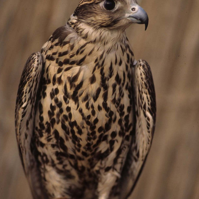 A peregrine falcon, the national bird of the United Arab Emirates