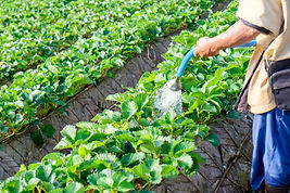 Man gardener watering strawberry plant i