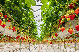 Industrial growth of strawberries in a D