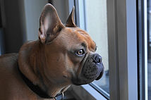 french-bulldog-4019784_640.jpg