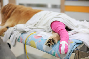 Golden retriever recovering with pink ba