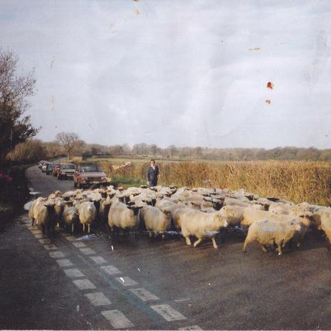 [Sheep reference photo]