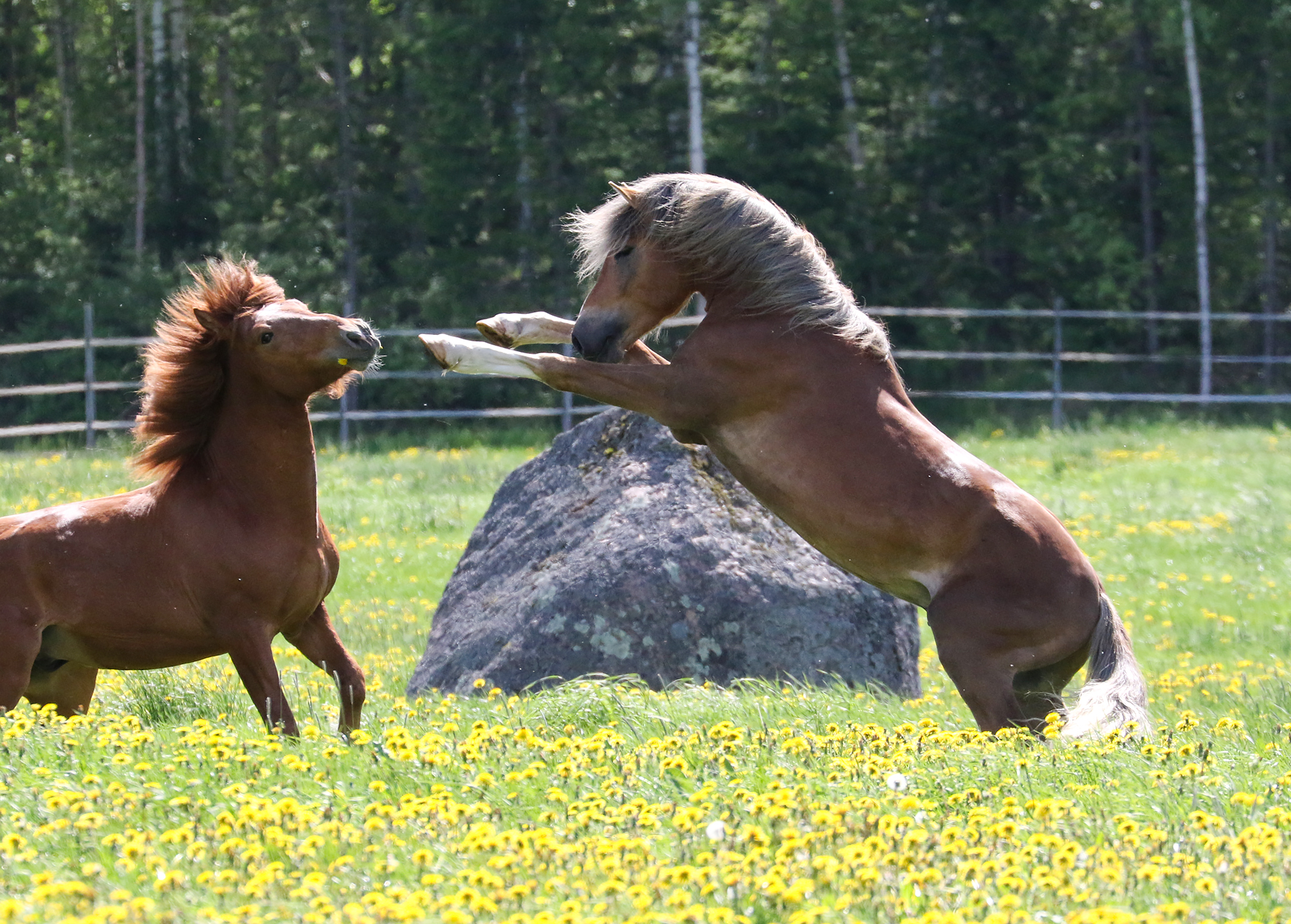 Hevosenleikkiä /Finnhorses