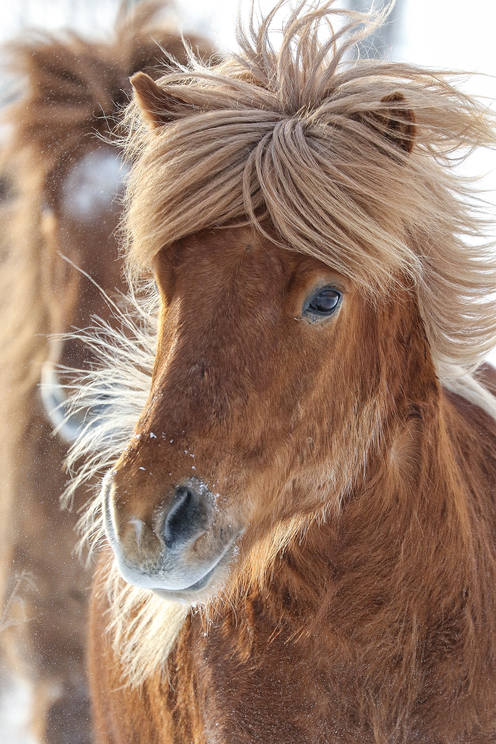 Islanninhevosia / Icelandic horses