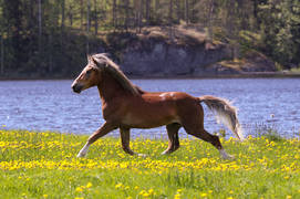 Suomenhevonen kesälaitumella  / Finnish horse