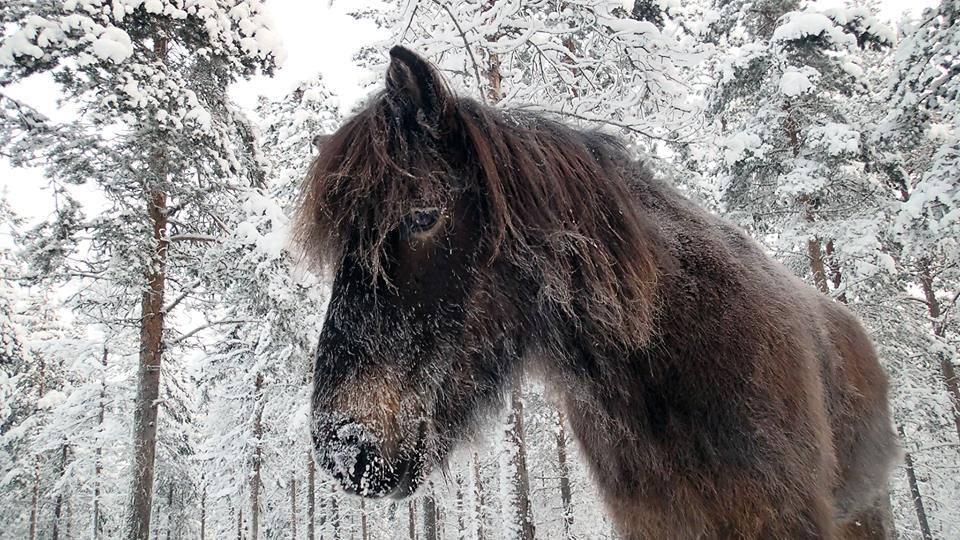 Islanninhevonen I Icelandic horse