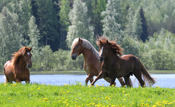 Suomenhevosia laitumella /Finnhorses