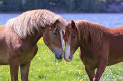 Suomenhevosia /Finnhorses