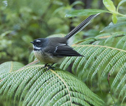 new-zealand-fantail-3729278_1920_edited_edited.jpg