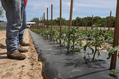 Tomato Plants    New Jersey, USA