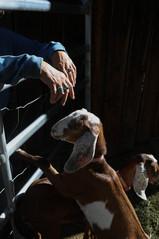 Goat Mother    Colorado, USA